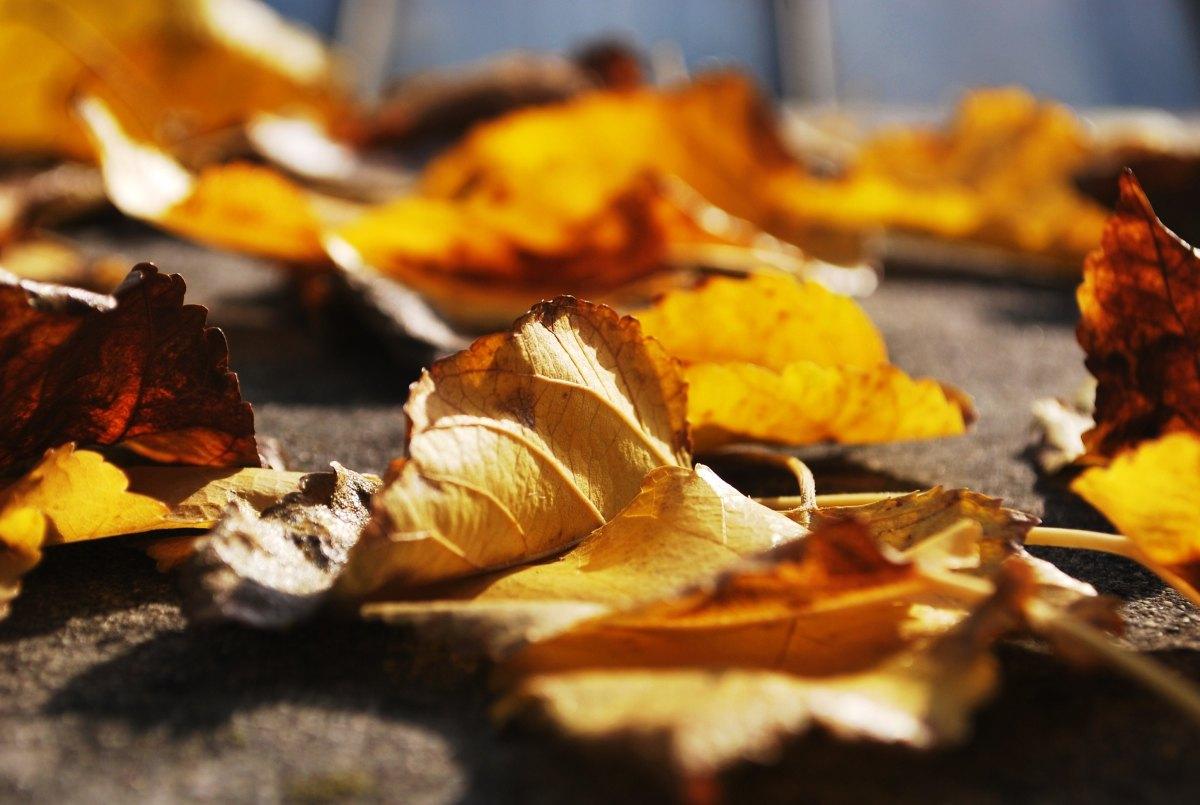Fallen Leaves inFall