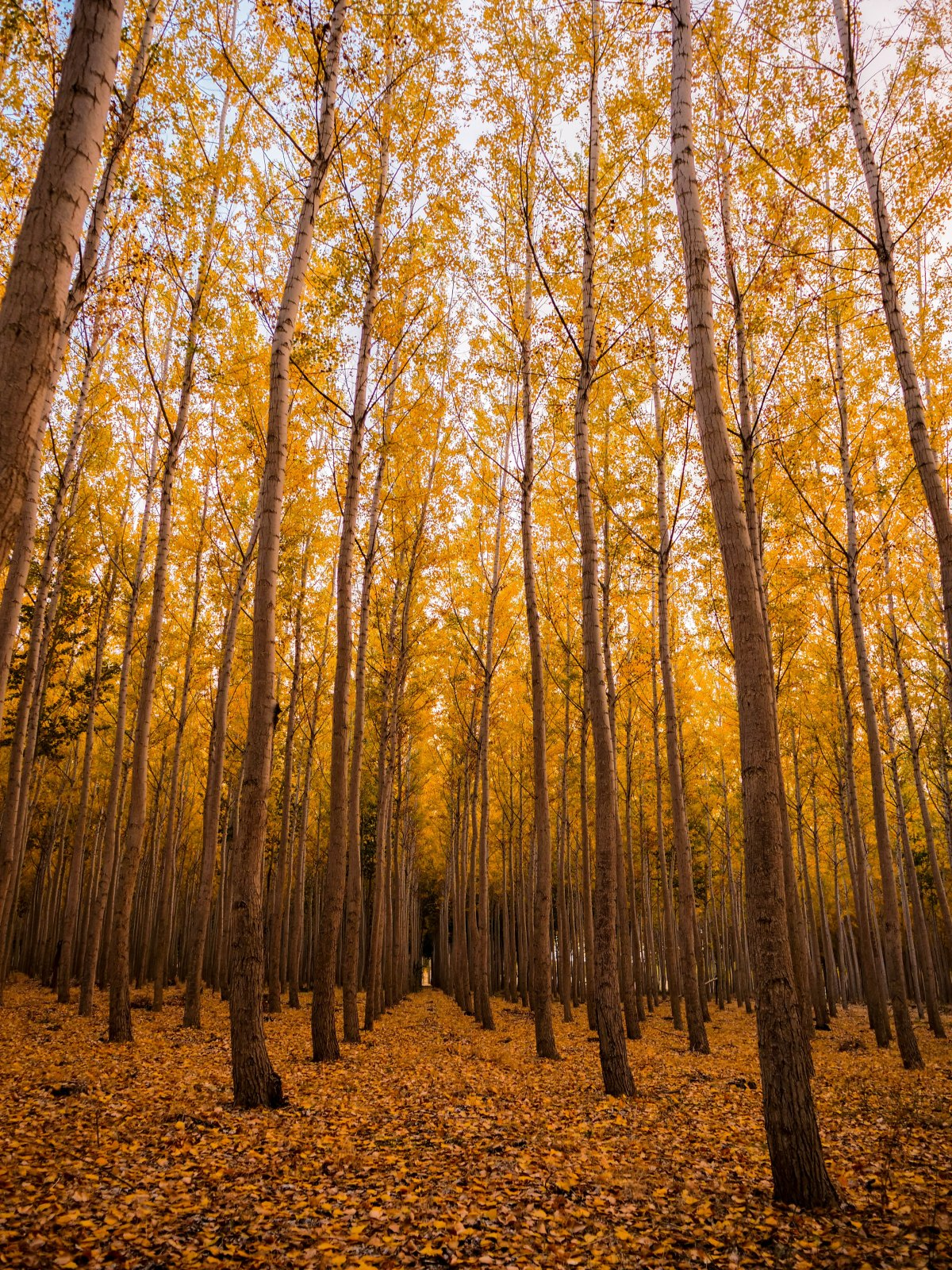 Yellowish Trees